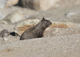 California Ground Squirrel (Otospermophilus beecheyi) - Kalifornisk markekorre