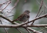 Fox Sparrow (Passerella illiaca unalaschcensis) - rävsparv