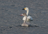 Tundra Swan (Cygnus columbians bewickii) - mindre sångsvan