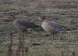 Greater White-fronted Goose (Anser albifrons) - bläsgås and Pink-footed Goose (Anser brachyrhynchus) - spetsbergsgås