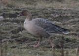 Pink-footed Goose (Anser brachyrhynchus)