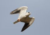 Black-shouldered Kite (Elanus caeruleus) - svartvingad glada