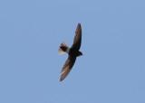 Little Swift (Apus affinis) - stubbstjärtseglare