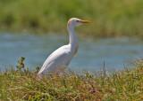 Cattle Egret (Bubulcus ibis) - kohäger