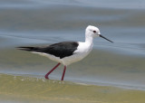 Black-winged Stilt (Himantopus himantopus) - styltlöpare