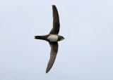 Alpine Swift (Apus melba africanus) - alpseglare