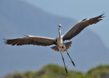 Grey Heron (Ardea cinerea) - gråhäger