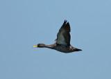 Yellow-billed Duck (Anas undulata)