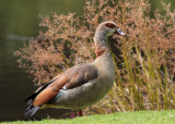 Egyptian Goose (Alopochen aegyptica)