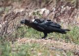 White-necked Raven (Corvus albicollis)