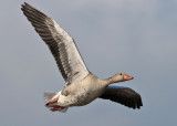 Greylag Goose (Anser anser) - grågås