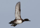 Tufted Duck (Aythya fuligula) - vigg