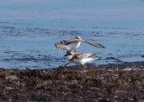 Ringed Plover (Charadius hiaticula) attacking Greater Sand Plover (Charadrius leschenaultii)