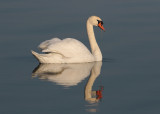 Mute Swan (Cygnus olor) - knölsvan