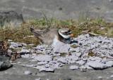 Ringed Plover (Charadius hiaticula) - större strandpipare