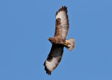 Common Buzzard (Buteo buteo) - ormvråk
