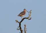 Common Snipe (Gallinago gallinago) - enkelbeckasin