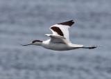 Pied Avocet (Recurvirostra avosetta) - skärfläcka