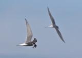 Arctic Tern (Sterna paradisaea) - silvertärna