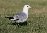 Common Gull (Larus canus) - fiskmås