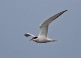 Common Tern (Sterna hirundo) - fisktärna