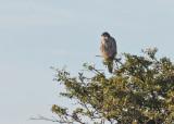 Gyrfalcon (Falco rusticolus) - jaktfalk