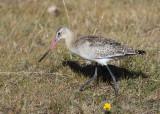 Black-tailed Godwit (Limosa limosa) - rödspov