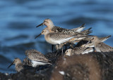 Curlew Sandpiper (Calidris ferruginea), Red Knot (Calidris canutus), and Dunlin (Calidris alpina)