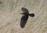 Eurasian Marsh Harrier (Circus aeruginosus) - brun kärrhök