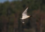 Peregrine Falcon (Falco peregrinus) - pilgrimsfalk