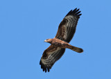 European Honey-Buzzard (Pernis apivorus) - bivråk