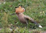 Eurasian Hoopoe (Upupa epops) - härfågel