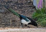 Eurasian Magpie (Pica pica) - skata