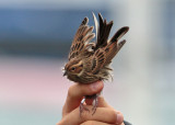 Little Bunting (Emberiza pusilla) - dvärgsparv