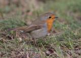 European Robin (Erithacus rubecula) - rödhake