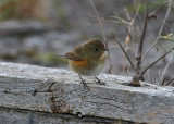 Northern Red-flanked Bluetail (Tarsiger cyanurus) - taigablåstjärt