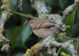 Hume's Yellow-browed Warbler (Phylloscopus humei)