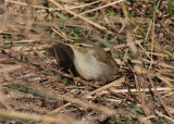Arctic Warbler (Phylloscopus borealis) - nordsångare