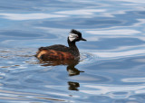White-tufted Grebe (Rollandia rolland)