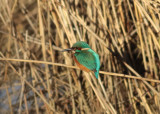 Common Kingfisher (Alcedo atthis) - kungsfiskare