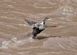 Torrent Duck (Marganetta armata)