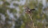 Cuckoo - Gøg - Cuculus canorus