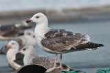 Great black-backed Gull -  Svartbag -  Larus marinus