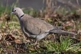Collared Dove _ Tyrkerdue - Streptopelia decaocto