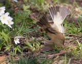 Common Chiffchaff - Gransanger - Phylloscopus collybita