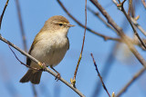 Common Chiffchaff - Gransanger - Phylloscopus collybita