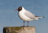 Black-headed Gull -Hættemåge - Larus ridibundus