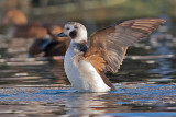 Long-tailed Duck -Havlit - Clangula hyemalis