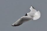 Black-headed Gull - Hættemåge - Larus ridibundus