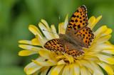 Queen of Spain - Storplettet-Perlemorsommerfugl - Issoria lathonia
